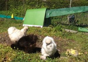 De kippen helpen bij het onkruid vrij maken.